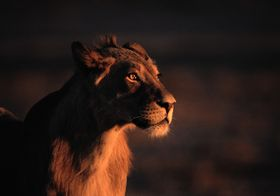 Lion at sundown
