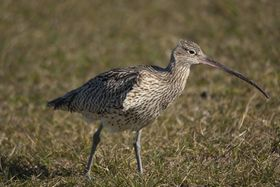 Western curlew
