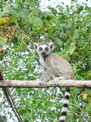[Translate to English:] Junger Lemur